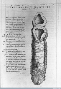 "L0015865 Vesalius ""De humani..."", 1543: illustration of a uterus Credit: Wellcome Library, London. Wellcome Images images@wellcome.ac.uk http://wellcomeimages.org Illustration of a human uterus, resembling a penis De humani corporis fabrica Andreas Vesalius Published: 1543 Copyrighted work available under Creative Commons Attribution only licence CC BY 4.0 http://creativecommons.org/licenses/by/4.0/"