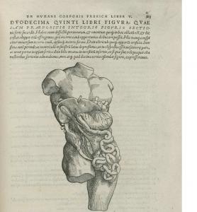 図6 ヴェサリウス『人体構造論』より、トルソーの上に描きこむ様式をとった腹部の臓器の解剖図。